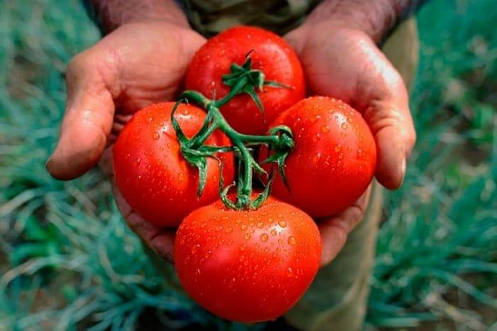 Нитроаммофоска для томата: как подкармливать