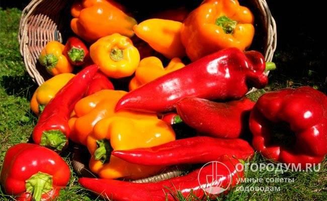 Описание сортов перца латино, екатерина и купец, их характеристика и урожайность - всё про сады