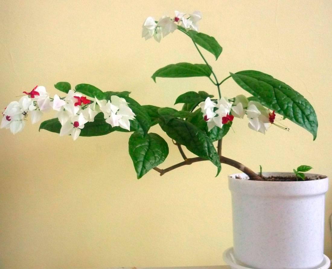 Клеродендрум: описание растения, особенности ухода, посадки и выращивания в домашних условиях