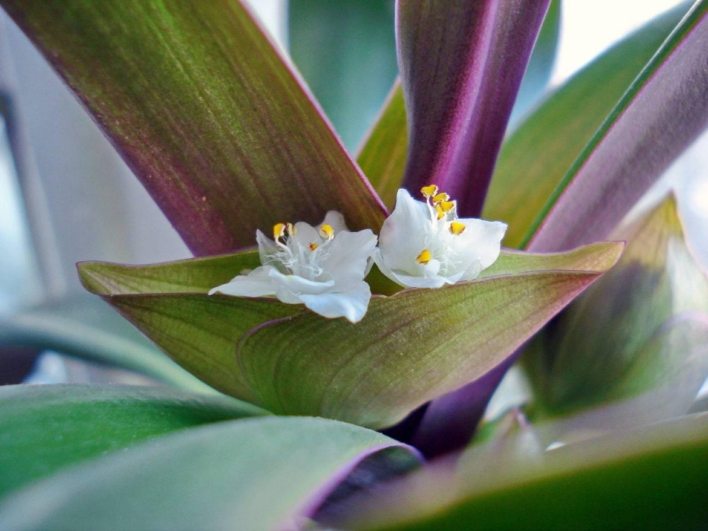 Рео цветок уход в домашних условиях пересадка и размножение