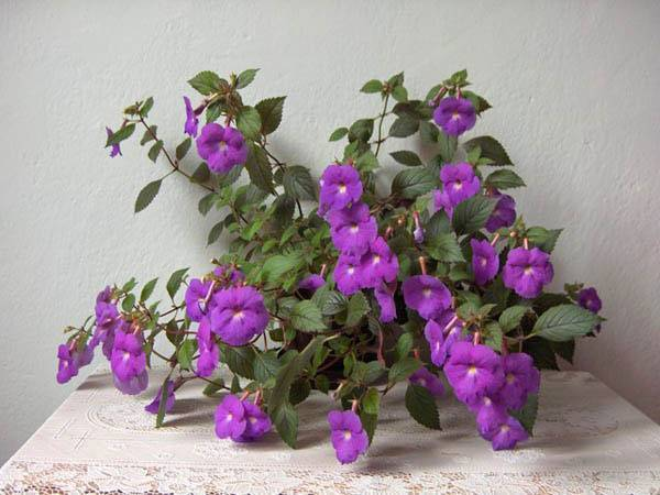 Комнатный цветок ахименес: фото и сорта, выращивание в домашних условиях, уход и размножение