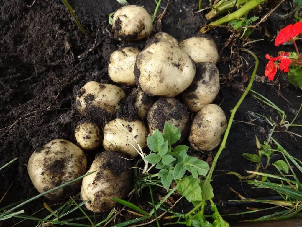 Подкормка и удобрения для картофеля: ому, кемира, фертика, азофоска