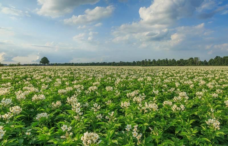Голландские технологии выращивания картофеля: основы, правила, преимущества