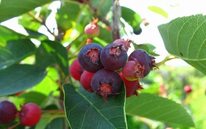 Выращивание ирги: что это такое, какие у неё плоды, как посадить и размножить, много ли требует усилий при выращивании