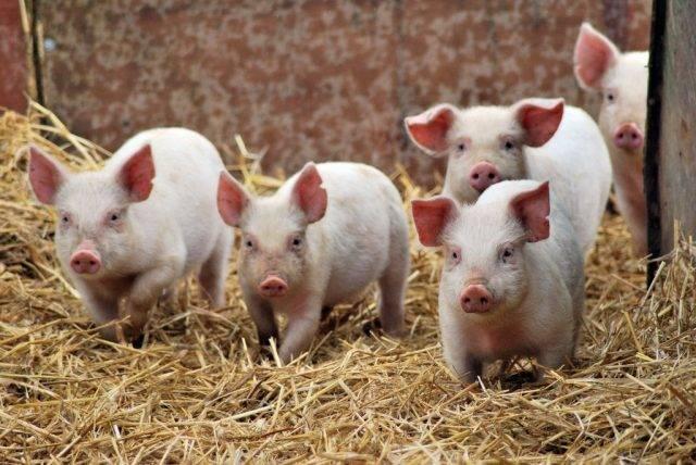 Советы по выбору подстилки для свиней