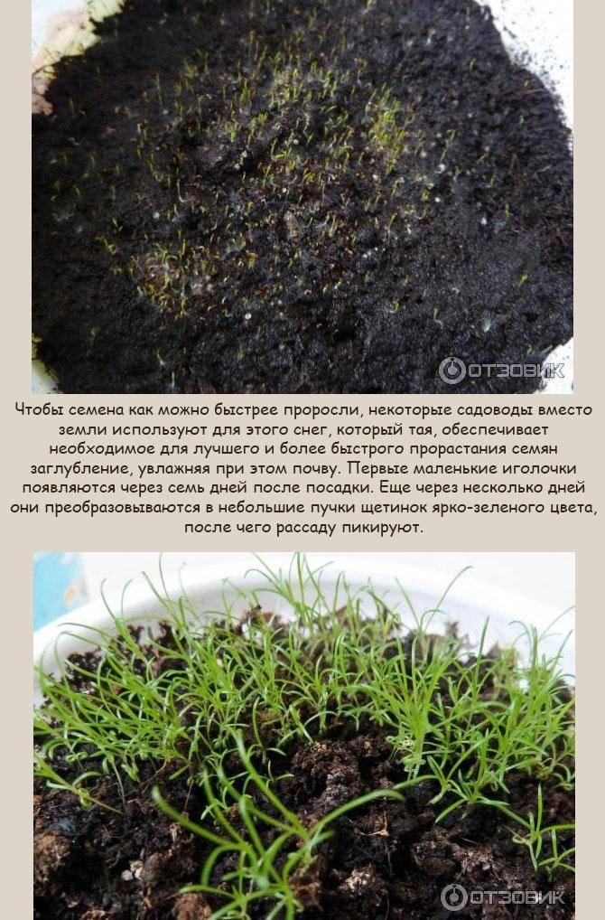 Цветущий ирландский мох на даче: посадка и уход за мшанкой шиловидной