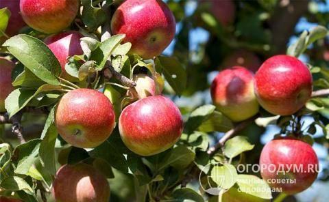 Описание сорта яблони поэзия: фото яблок, важные характеристики, урожайность с дерева