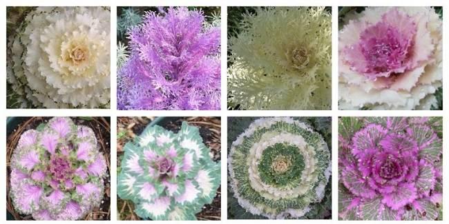 Декоративная капуста выращивание и советы по уходу, посадка, фото