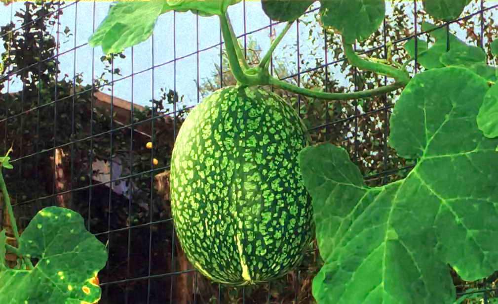 Выращивание тыквы матильда f1