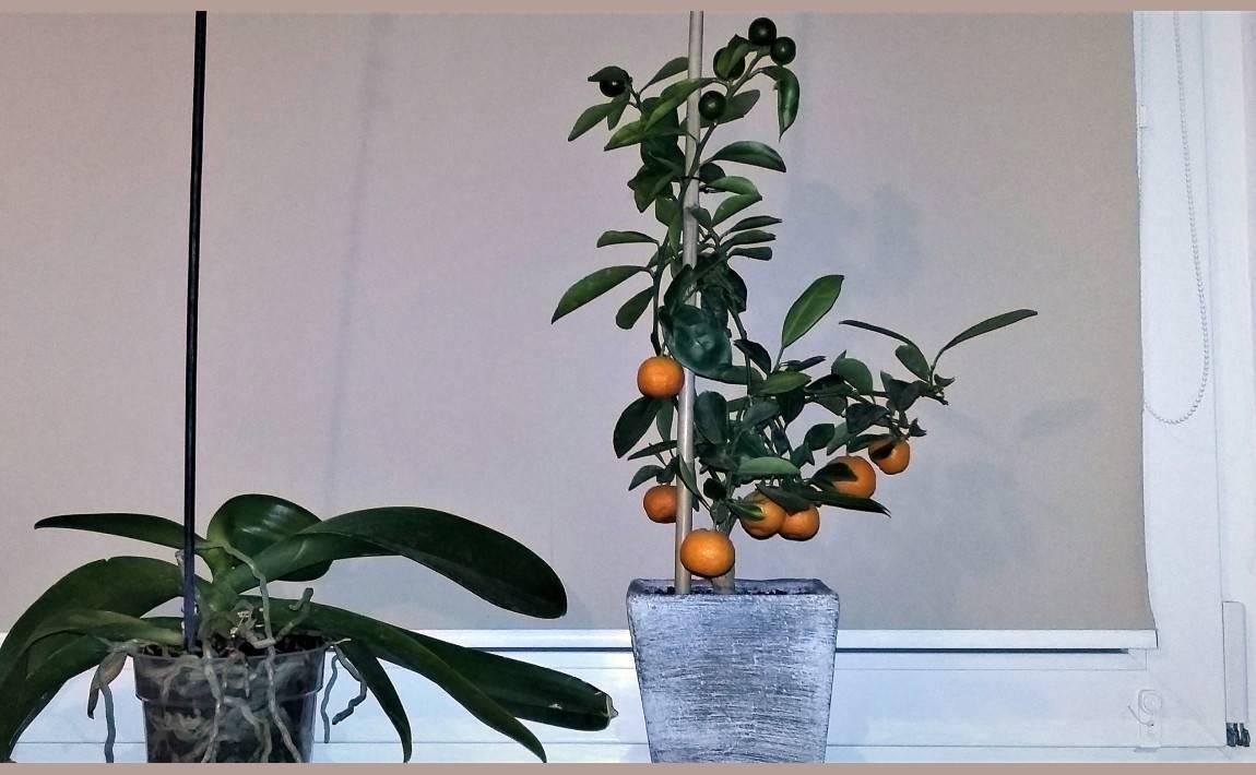 Грейпфрут: посадка, выращивание, уход