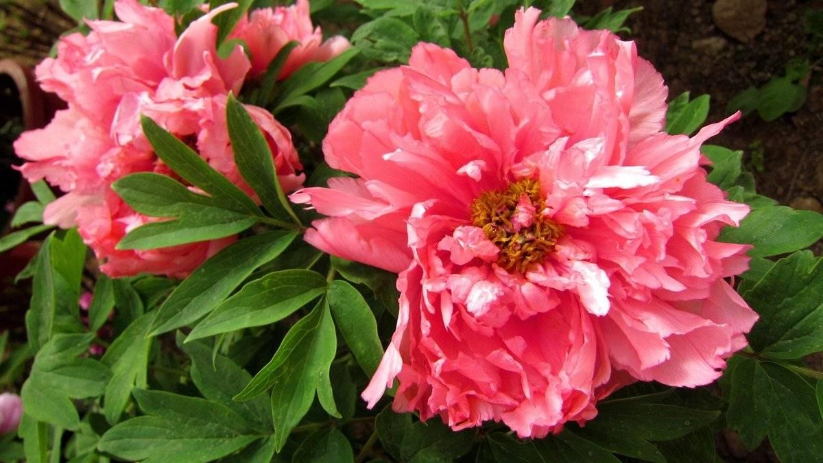 Когда и как нужно обрезать пионы после цветения, подготовка растений к зиме