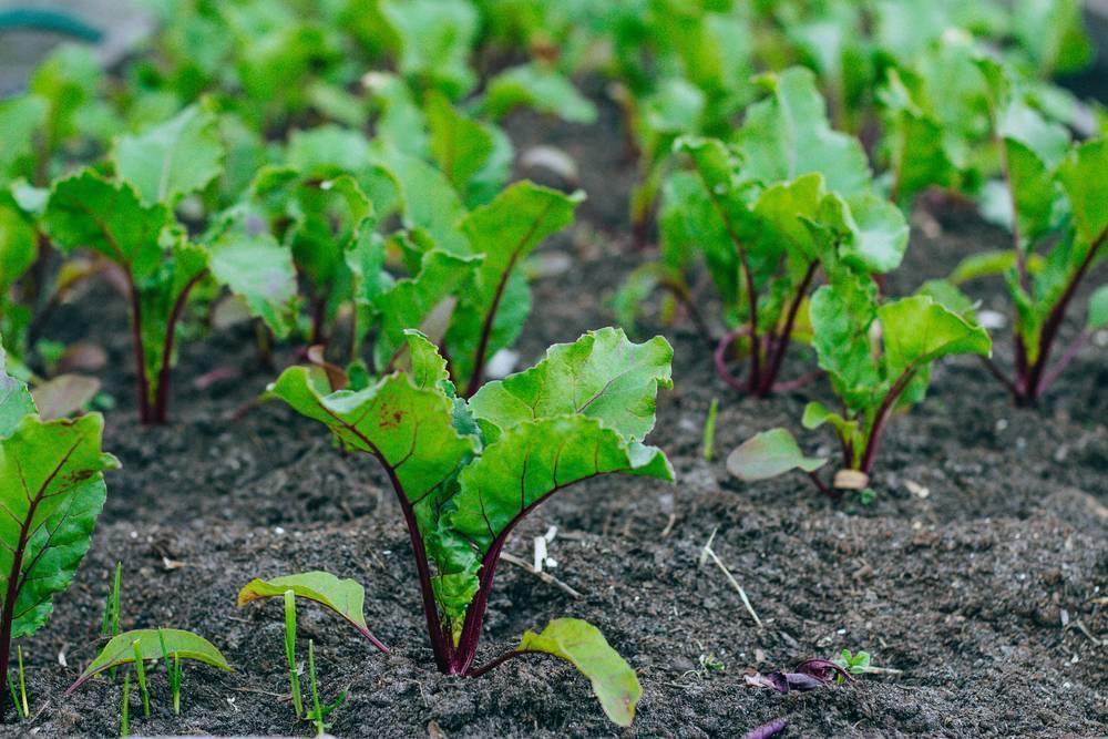 Посадка семян свеклы в открытый грунт и в домашних условиях: при какой дневной температуре и как рекомендуется проводить посев, а также как лучше организовать уход? русский фермер