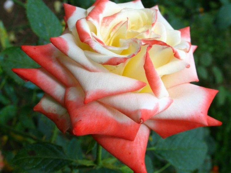 Роза императрица фарах: фото и описание, отзывы