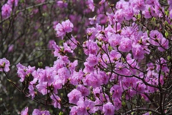Рододендрон: описание и ареал произрастания, рекомендации по выращиванию и правила ухода, болезни и вредители