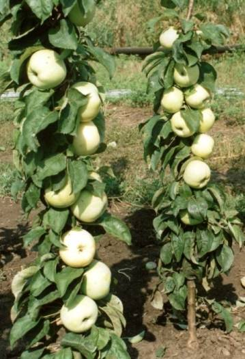 Штамбовая яблоня: что это такое