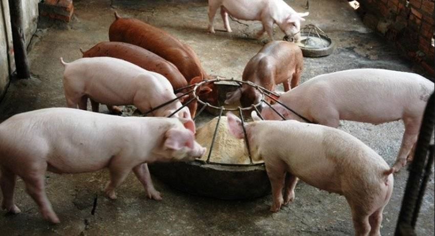 Кормление супоросных свиноматок: особенности содержания, нормы корма