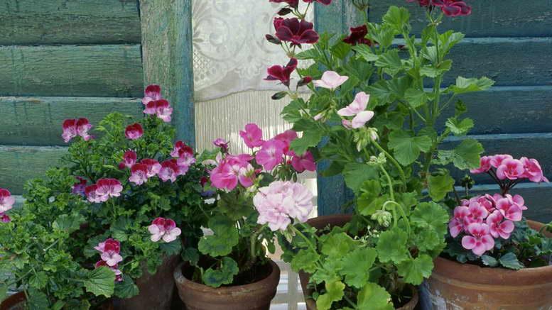 Герань душистая: уход в домашних условиях, обрезка пеларгонии пахучей, фото растения, а также за что ценятся нецветущие сорта? русский фермер