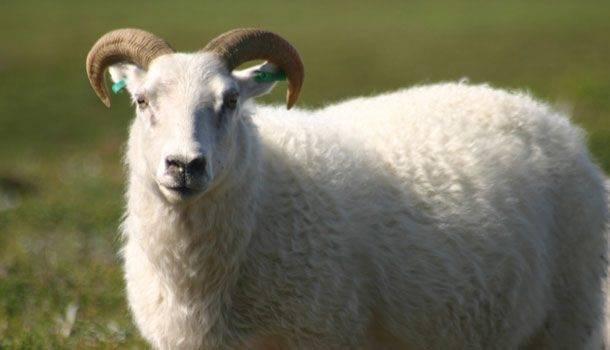 Разведение баранов на мясо как бизнес - технология бизнеса