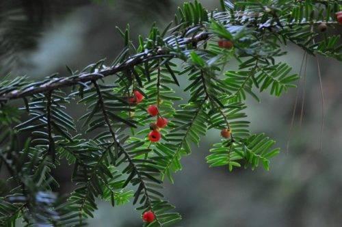 Тис (60 фото): что это такое? описание деревьев и кустарников. как выглядят канадский, колоновидный и другие виды растения?