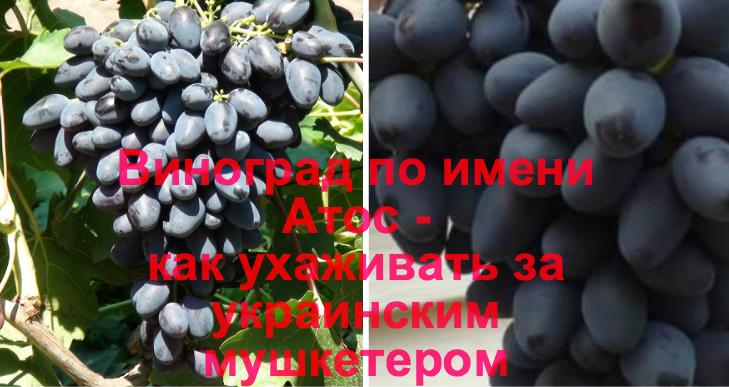 Виноград атос: описание сорта, фото, отзывы