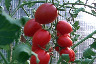 Сорт томата черри ира f1: описание, характеристика