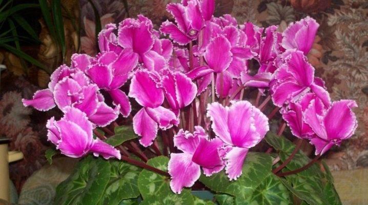Цикламен — выращивание и уход