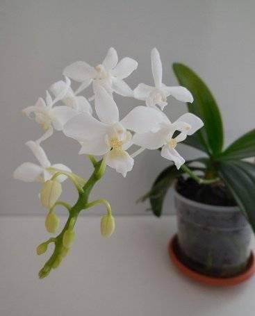 Сорта фаленопсисов : pulsation, равелло, равенна, ред дион, как выглядит орхидея на фото