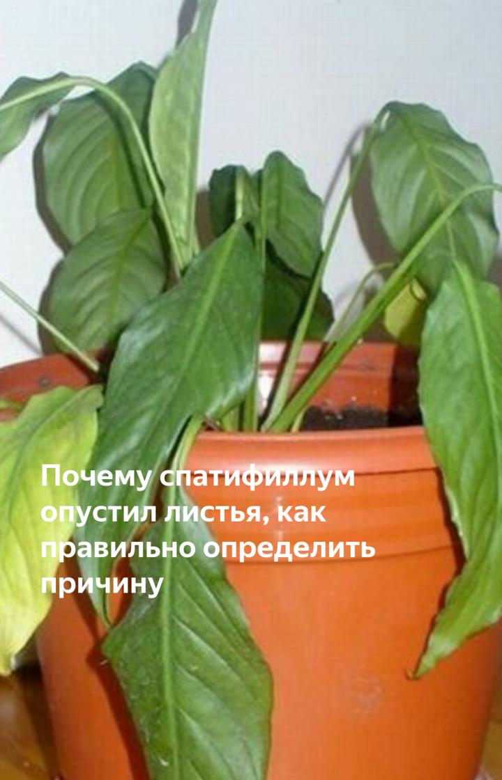 Почему спатифиллум опустил листья и что делать