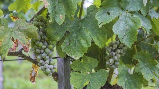 Тиовит джет для винограда инструкция по применению