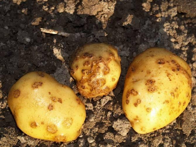 Как бороться с паршой на картофеле: признаки, описание, методы лечения и профилактики