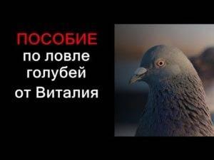 Как приучать к голубятне птиц после приобретения
