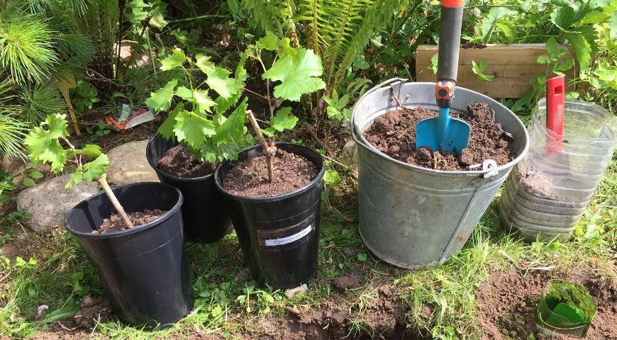 Сроки посадки винограда весной и осенью