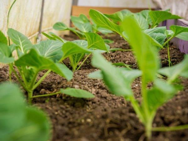 Капуста белокочанная июньская. основные характеристики, специфика выращивания, достоинства и минусы