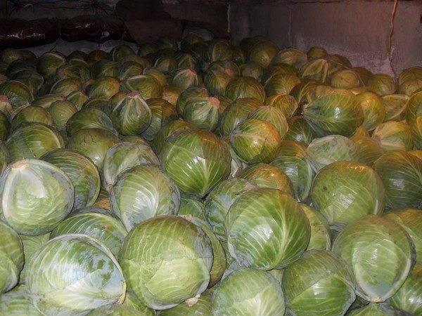 Как хранить капусту правильно: температура и условия и 8 лучших способов сбережения свежего белокочанного овоща зимой до весны в квартире, в холодильнике, погребе