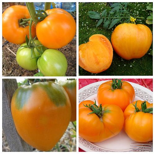 """Томат """"медовый"""": характеристика и описание сорта с фото, отзывы об урожайности"""