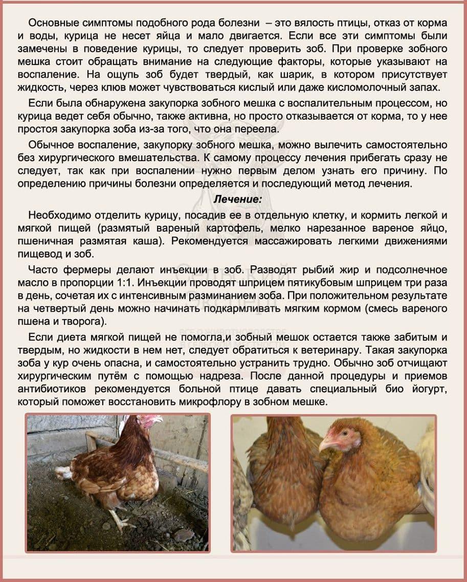 Забитый зоб у курицы (цыпленка) что делать?