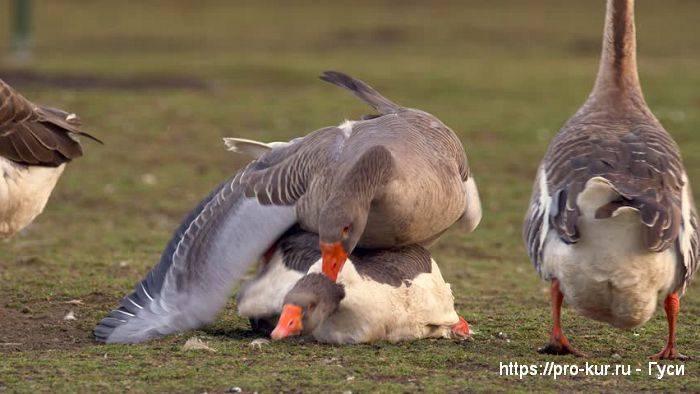 Учимся различать пол у гусей или как отличить гусака от гусыни