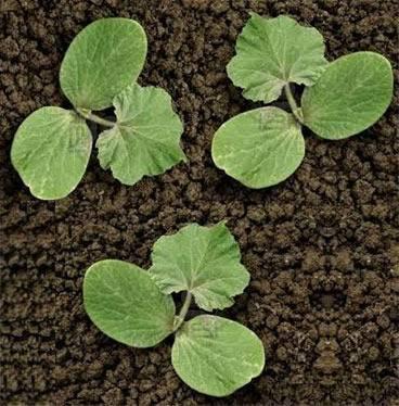 Через сколько дней всходит кабачок после посадки. как замачивать семена кабачков перед посадкой всходы с гарантией