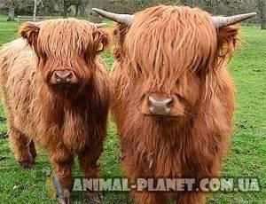 Коровы породы хайленд или шотландская высокогорная - домашняя ферма