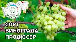 """Виноград """"продюсер"""" - описание сорта, характеристика гроздей и особенности посадки"""