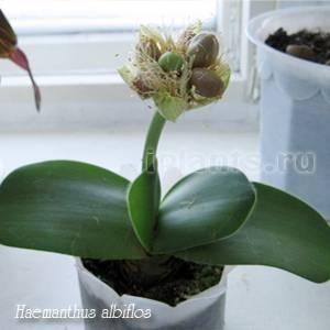 Гемантус (43 фото): уход в домашних условиях, описание сорта «катарины» и гемантуса белоцветкового. размножение и родина