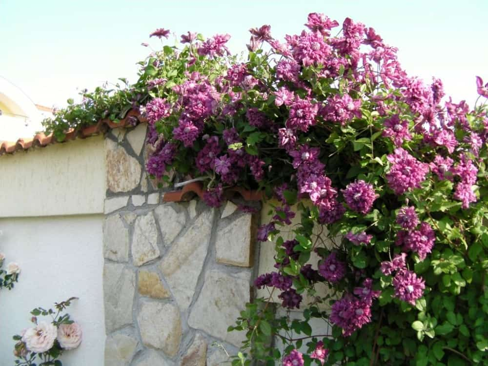 Клематис пурпуреа плена элеганс: описание сорта, посадка и уход, группа обрезки
