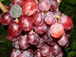 Виноград первозванный: описание сорта, фото и отзывы садоводов