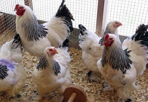 Чем кормить кур зимой. правила кормления домашней птицы зимой, повышение ее яйценоскости