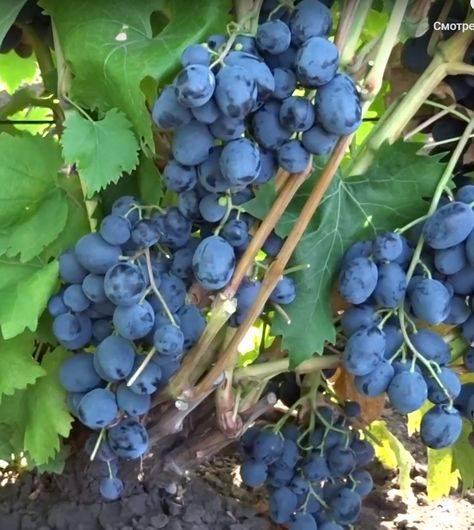 Виноград руслан — описание сорта, фото, отзывы, видео, где купить саженцы.