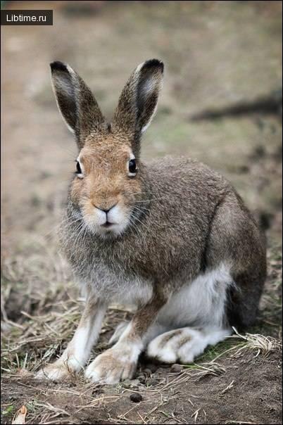 Заяц-русак – фото, описание, ареал, рацион, враги, популяция