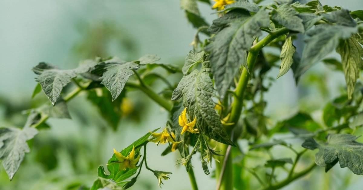 Почему опадает цвет у помидор в теплице: что делать