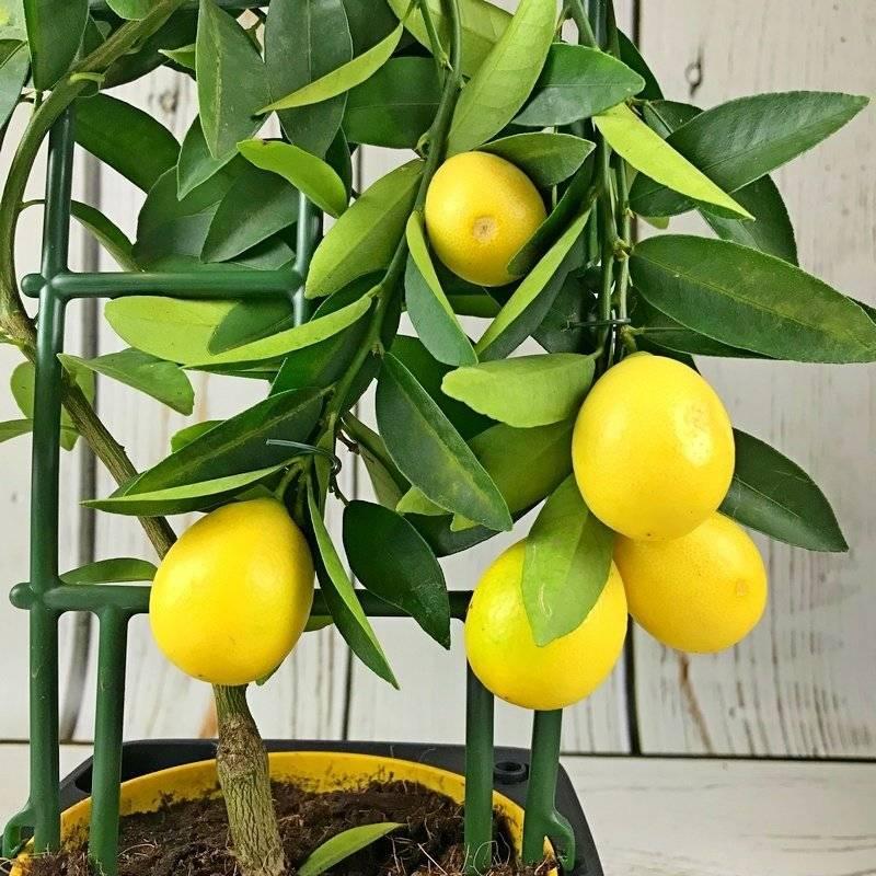 Лимон новозеландский в домашних условиях описание фото