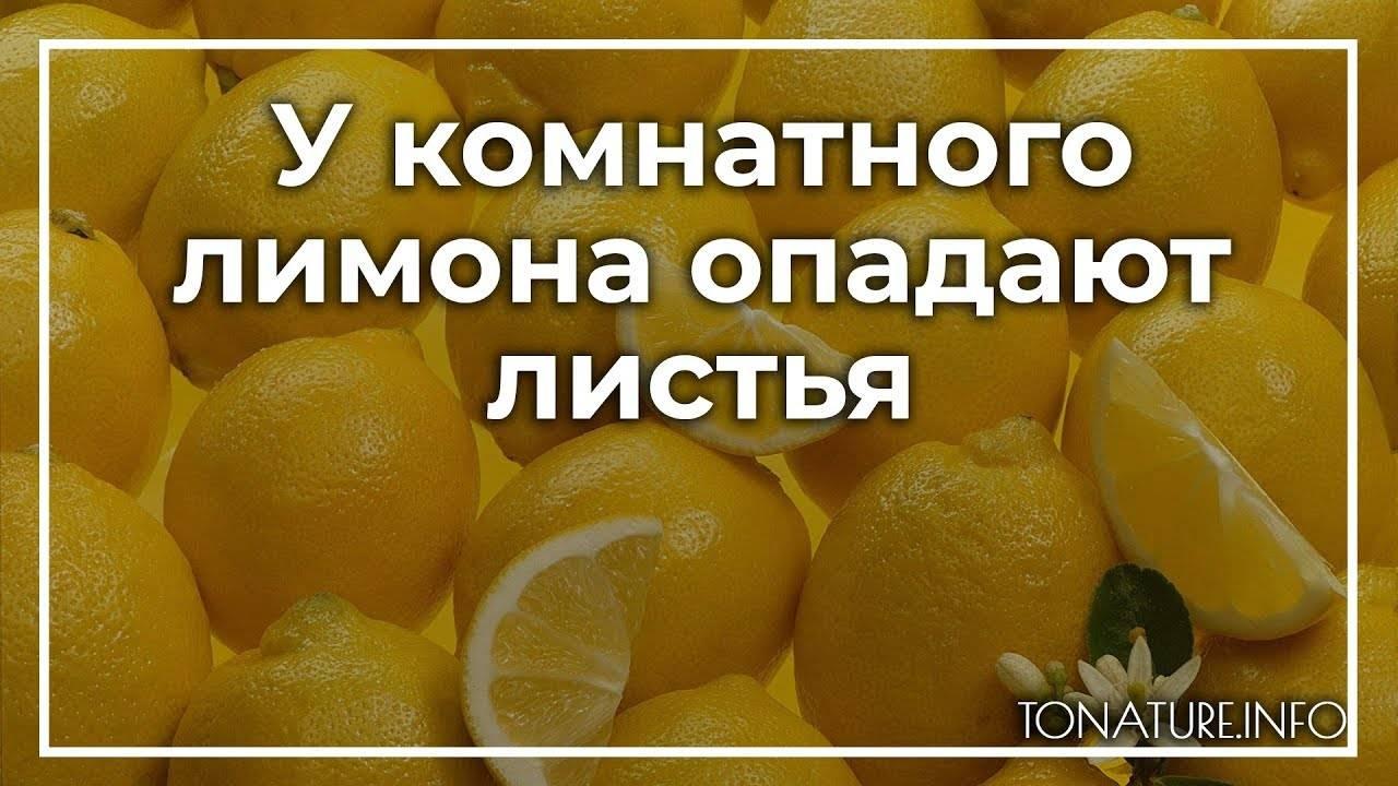 Лимон на подоконнике стоить без листьев, можно его спасти? / асиенда.ру