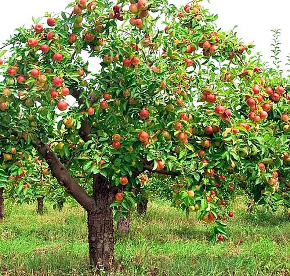 Яблоня жигулевское: описание сорта, фото, отзывы, морозостойкость, характеристика, сроки созревания, как собирать